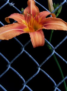 A flowering flooming through fence mesh